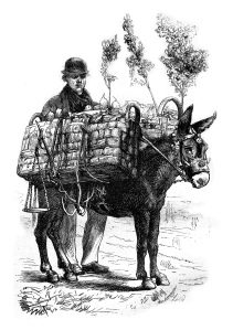Fruit merchant, vintage engraving.